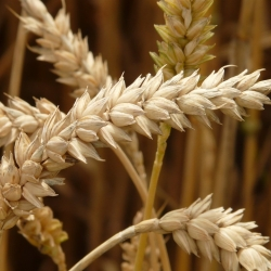 Wheat trade analyst /Wheat trade support